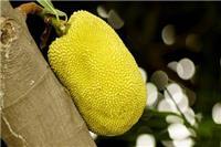 菠萝蜜的营养价值 喜欢吃菠萝蜜有什么好处