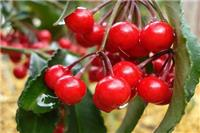 樱桃的营养价值与食用功效 樱桃有什么好处?